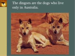 Company Logo The dingoes are the dogs who live only in Australia. Company Log