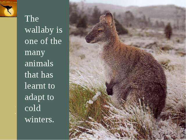 Company Logo The wallaby is one of the many animals that has learnt to adapt...