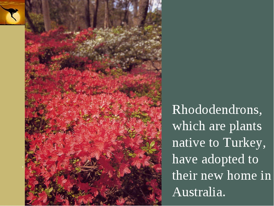 Company Logo Rhododendrons, which are plants native to Turkey, have adopted t...