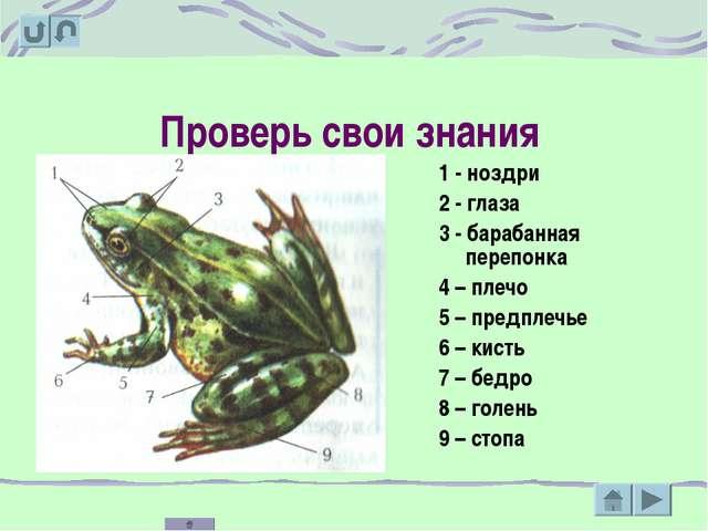 Проверь свои знания 1 - ноздри 2 - глаза 3 - барабанная перепонка 4 – плечо 5...