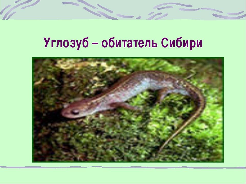 Углозуб – обитатель Сибири