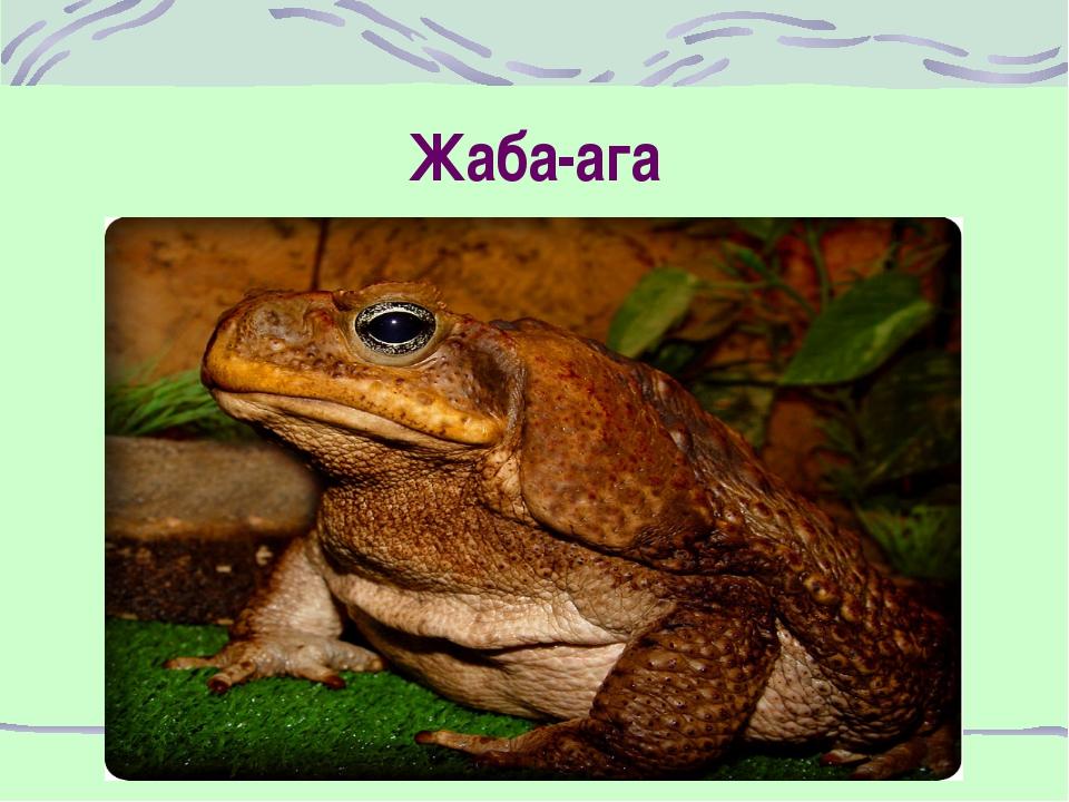 Жаба-ага