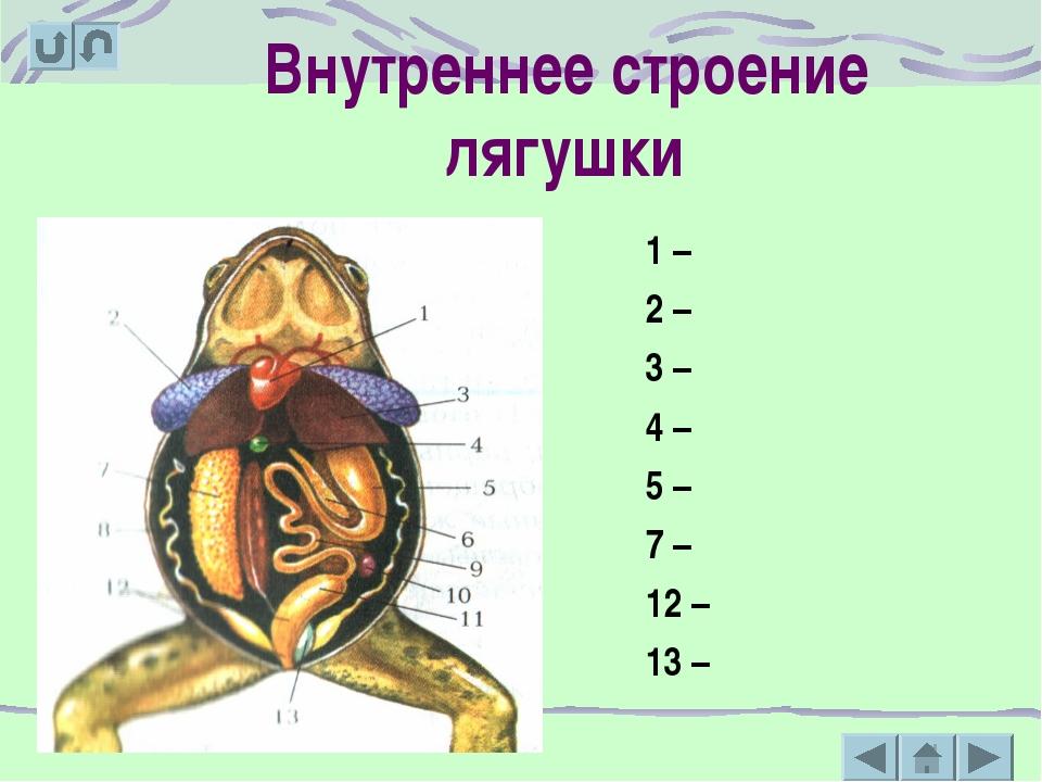 Внутреннее строение лягушки 1 – 2 – 3 – 4 – 5 – 7 – 12 – 13 –