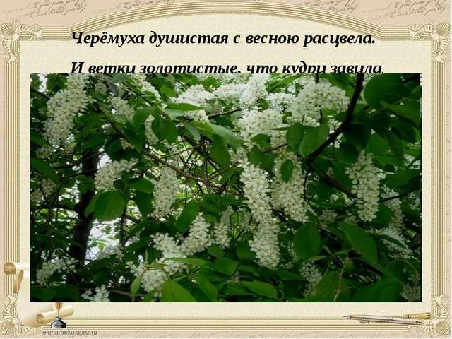 Черёмуха душистая с весною расцвела. И ветки золотистые, что кудри завила.