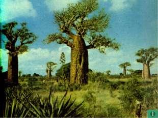 Африка - 5 Возраст этого дерева может достигать 5000 лет, а цветет лишь неско