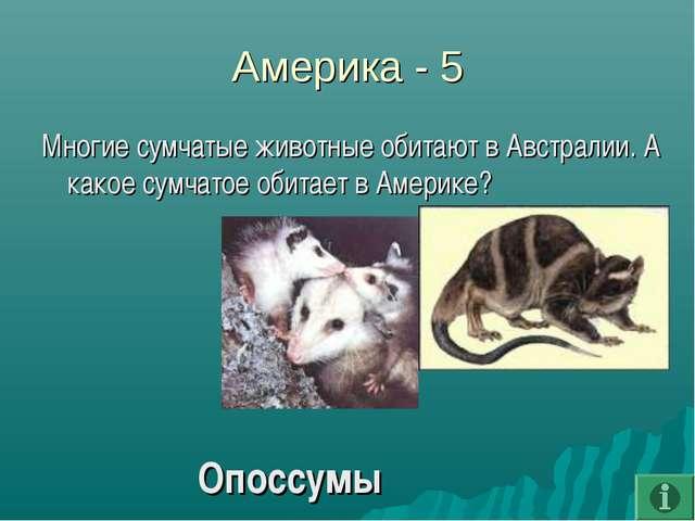 Америка - 5 Многие сумчатые животные обитают в Австралии. А какое сумчатое об...