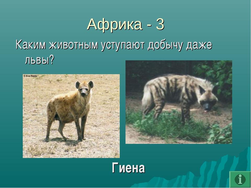Африка - 3 Каким животным уступают добычу даже львы? Гиена