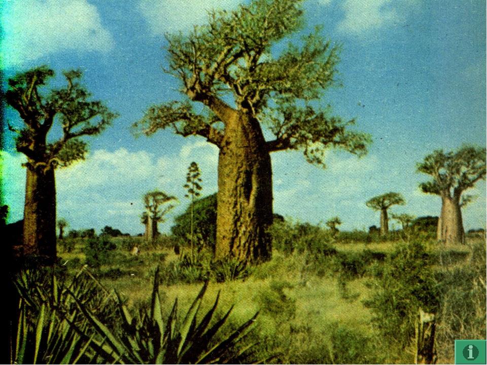 Африка - 5 Возраст этого дерева может достигать 5000 лет, а цветет лишь неско...