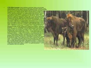 ЗУБР (Bison bonasus) очень крупные и могучие быки, для которых характерны ко