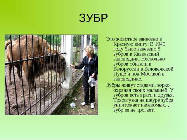 ЗУБР Это животное занесено в Красную книгу. В 1940 году было завезено 5 зубро...