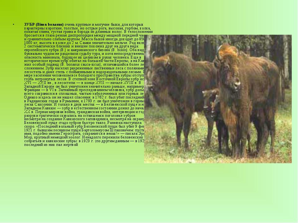 ЗУБР (Bison bonasus) очень крупные и могучие быки, для которых характерны ко...
