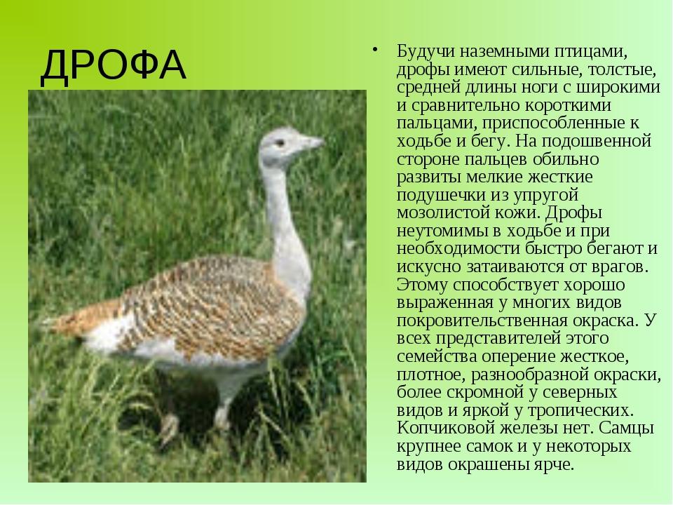 Будучи наземными птицами, дрофы имеют сильные, толстые, средней длины ноги с...