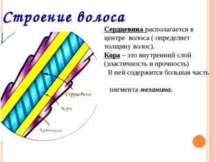 Строение волоса Сердцевина располагается в центре волоса ( определяет толщину
