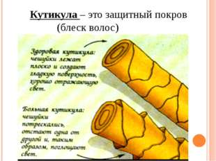 Кутикула – это защитный покров (блеск волос)