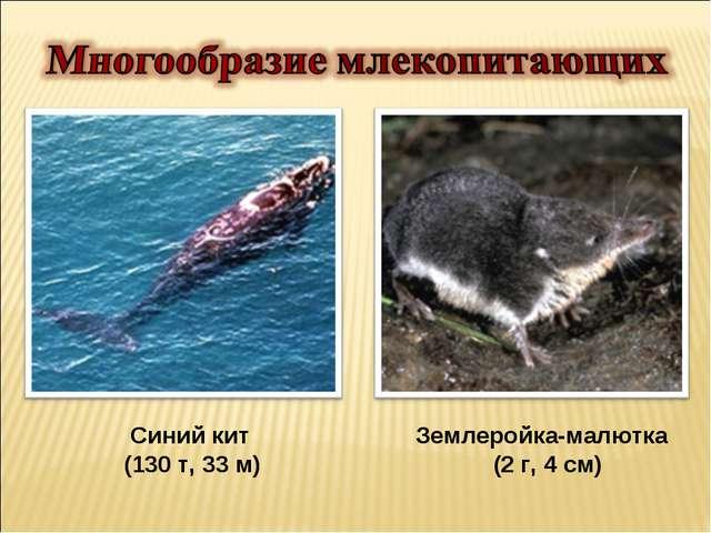 Синий кит Землеройка-малютка (130 т, 33 м) (2 г, 4 см)