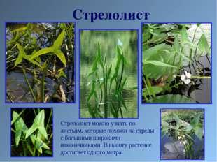 Стрелолист Стрелолист можно узнать по листьям, которые похожи на стрелы с бол