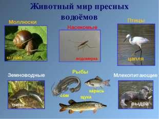 Моллюски Земноводные Насекомые Млекопитающие Рыбы Птицы Животный мир пресных