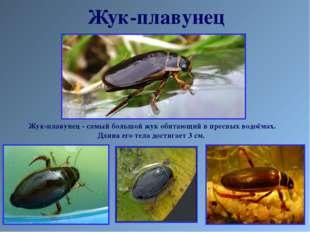 Жук-плавунец Жук-плавунец - самый большой жук обитающий в пресных водоёмах. Д