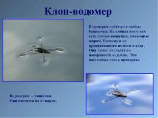 Клоп-водомер Водомерки «обуты» в особые башмачки. На концах ног у них есть гу