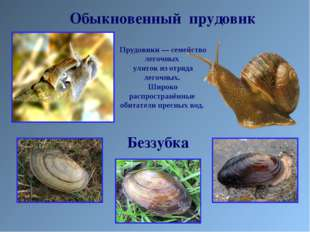 Обыкновенный прудовик Прудовики— семейство легочных улиток из отряда легочны