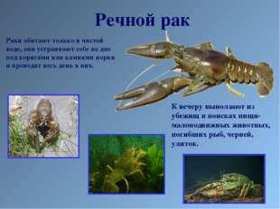 Речной рак Раки обитают только в чистой воде, они устраивают себе на дне под