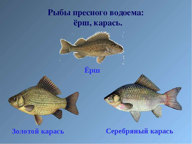 Рыбы пресного водоема: ёрш, карась.