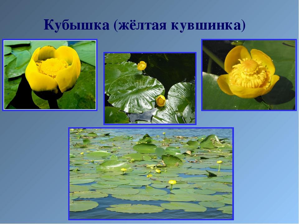 Кубышка (жёлтая кувшинка)