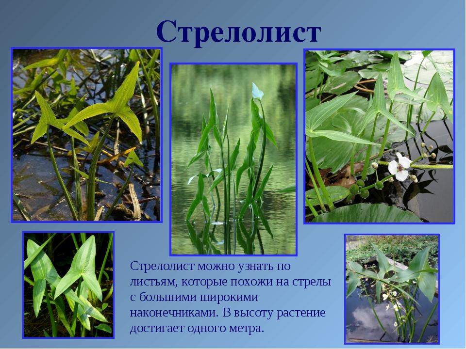 Стрелолист Стрелолист можно узнать по листьям, которые похожи на стрелы с бол...