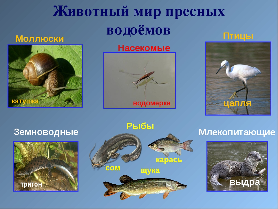 Моллюски Земноводные Насекомые Млекопитающие Рыбы Птицы Животный мир пресных...