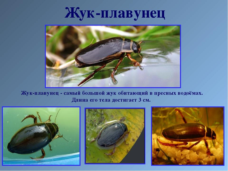 Жук-плавунец Жук-плавунец - самый большой жук обитающий в пресных водоёмах. Д...