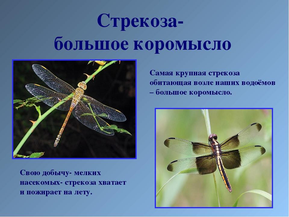 Стрекоза- большое коромысло Самая крупная стрекоза обитающая возле наших водо...