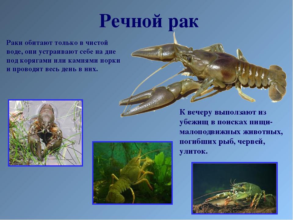 Речной рак Раки обитают только в чистой воде, они устраивают себе на дне под...