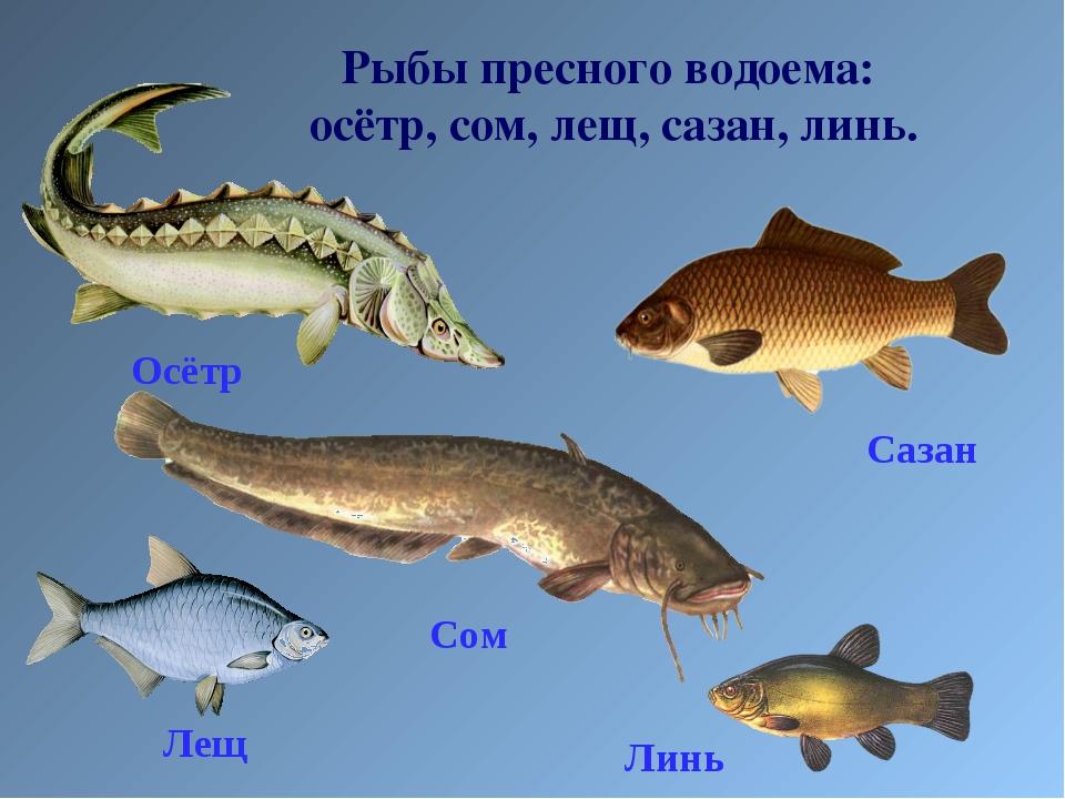 Рыбы пресного водоема: осётр, сом, лещ, сазан, линь. Сазан Линь Лещ Осётр Сом