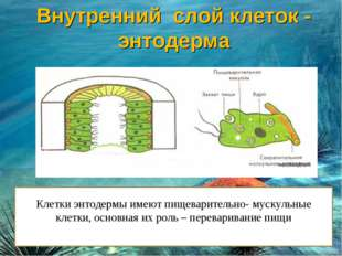 Клетки энтодермы имеют пищеварительно- мускульные клетки, основная их роль –