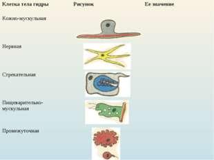 Клетка тела гидрыРисунок Ее значение Кожно-мускульная Нервная  Стрекате