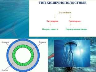 ТИП КИШЕЧНОПОЛОСТНЫЕ 2-хслойные Эктодерма Энтодерма Покров, защита Переварива