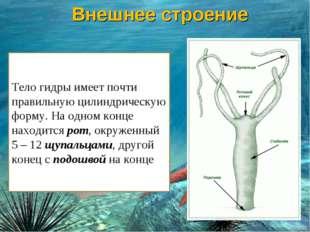 Тело гидры имеет почти правильную цилиндрическую форму. На одном конце находи