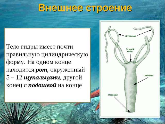 Тело гидры имеет почти правильную цилиндрическую форму. На одном конце находи...