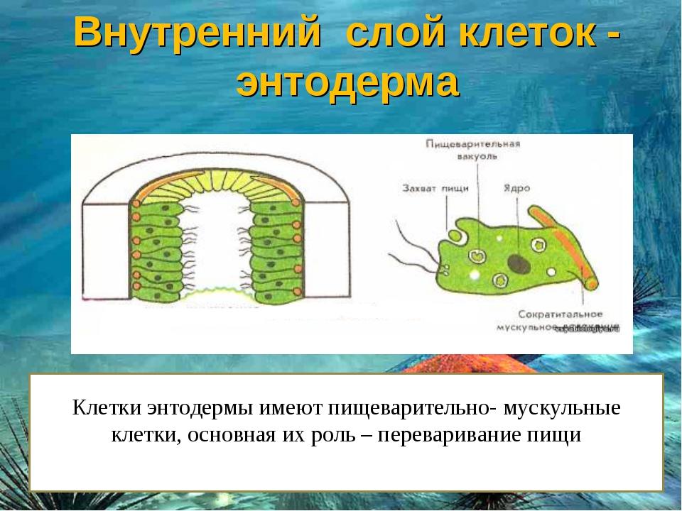Клетки энтодермы имеют пищеварительно- мускульные клетки, основная их роль –...