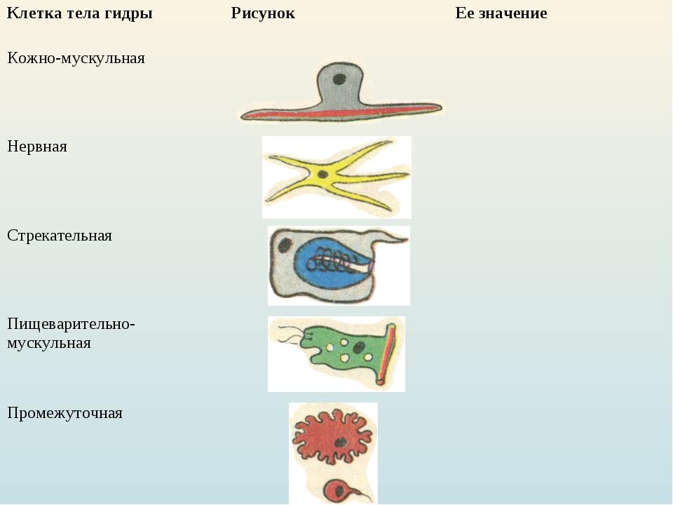 Клетка тела гидрыРисунок Ее значение Кожно-мускульная Нервная  Стрекате...