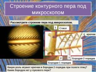 Строение контурного пера под микроскопом крючки 4 Какую роль играют крючки и