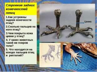 Строение задних конечностей птиц 1.Как устроены задние конечности птиц? 2.Ско