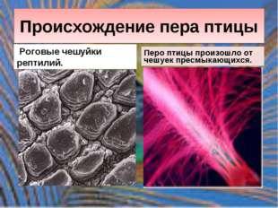 Происхождение пера птицы Роговые чешуйки рептилий. Перо птицы произошло от че