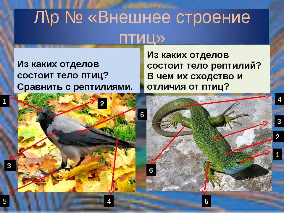 Из каких отделов состоит тело птиц? Сравнить с рептилиями. Из каких отделов с...