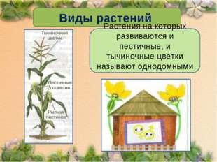 Виды растений Растения на которых развиваются и пестичные, и тычиночные цветк