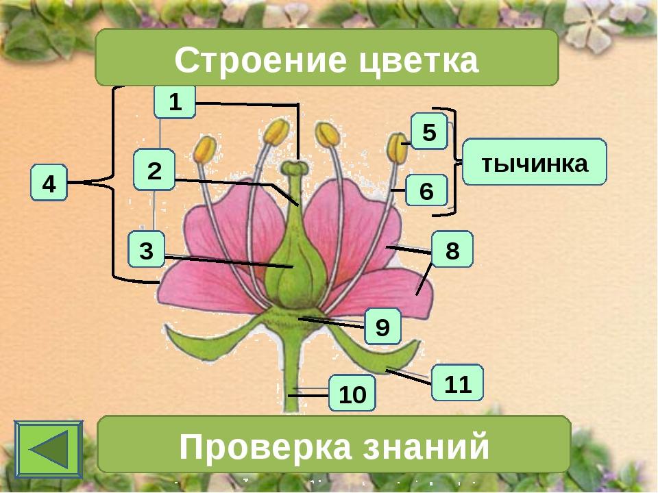 1 4 2 3 Строение цветка тычинка Проверка знаний 11 10 6 5 9 8