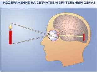 Что мы узнали о строении глаза. То «худеет», то «толстеет», То «привстанет»,