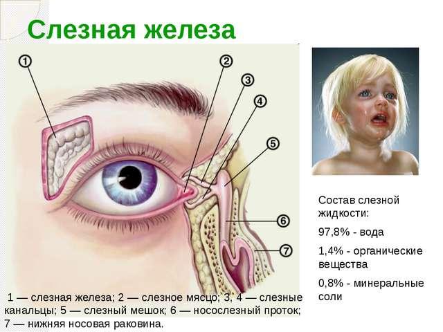 Слезная железа вв 1 — слезная железа; 2 — слезное мясцо; 3, 4 — слезные канал...