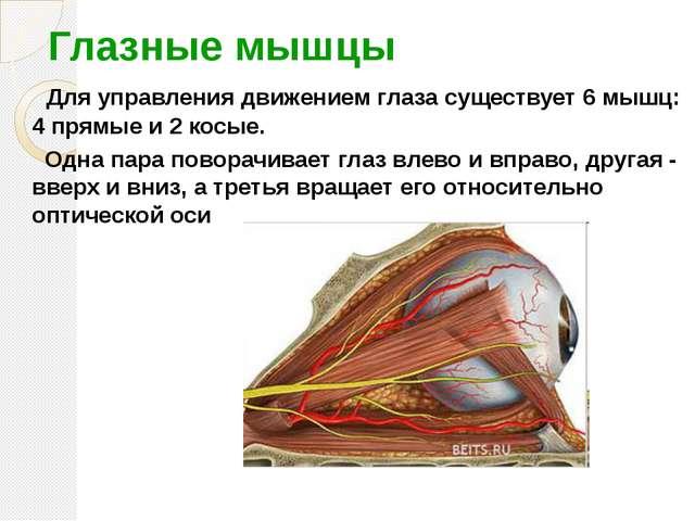 Глазные мышцы Для управления движением глаза существует 6 мышц: 4 прямые и 2...