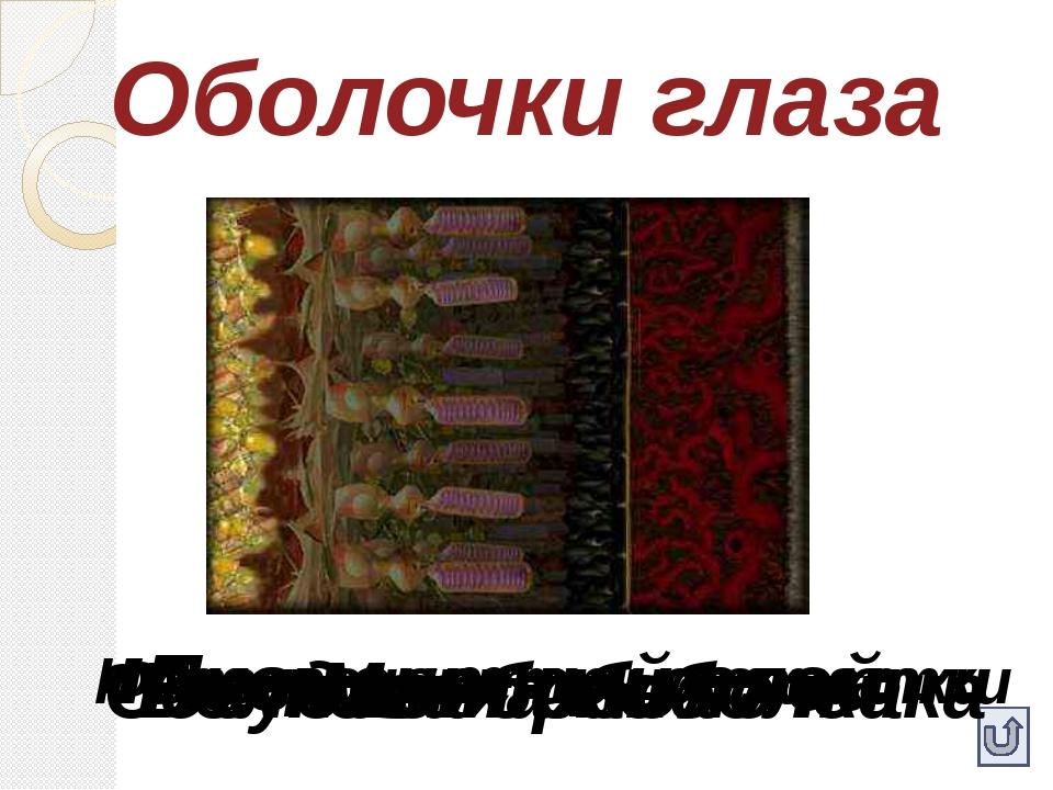 Оболочки глаза Белковая оболочка Сосудистая оболочка Мембрана Пигментный слой...